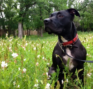 Felix frolics in Texas wildflowers.